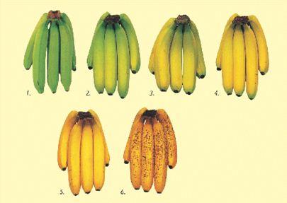 Banane mit unterschiedlichem Reifungsgrad