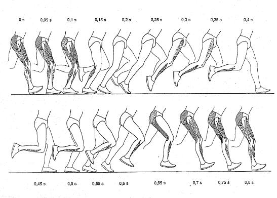 An der Laufbewegung sind sehr viele Muskeln beteiligt